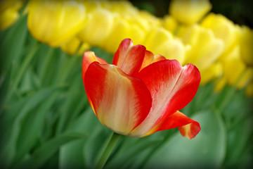 Obraz czerwony i żółty tulipan - fototapety do salonu