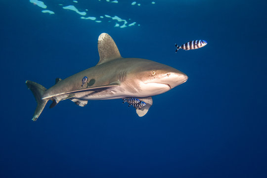 Ocean white tip shark at  Red Sea