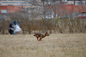 Fototapete - Dog runs with a parachute on the field