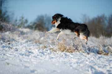 Wall Mural - A dog of the Australian shepherd breed plays in the snow
