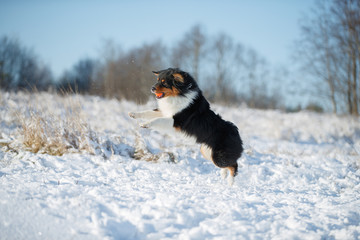 Fototapete - A dog of the Australian shepherd breed plays in the snow