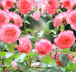 Wall Mural - Roses in the garden