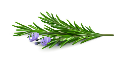 Sprig of fresh flowering rosemary isolated on a white background. Realistic vector illustration