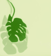 Wall Mural - Tropical Monstera leaves shadow at light green background