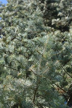 Colorado white fir