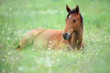 Photo sur Plexiglas Chevaux Cute little horse is lying on grass