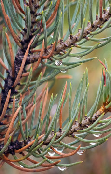 A Pair of Pine Branches Bejeweled with Rain Drops
