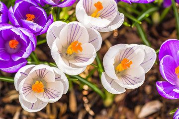 crocus flowers in the garden