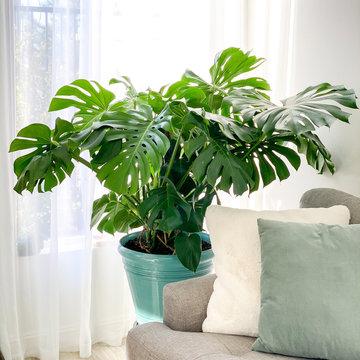 monstera deliciosa plant in the living room
