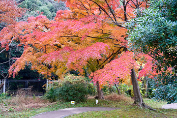 Wall Murals Candy pink Big red Japanese maple tree during autumn time