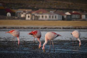 Różowe flamingi w Boliwii
