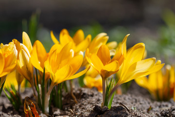 Wall Mural - Yellow crocuses bloomed in the spring