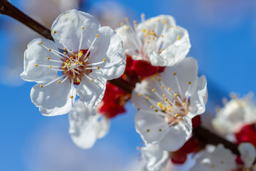 Wall Mural - Blooming flowers on an apricot tree