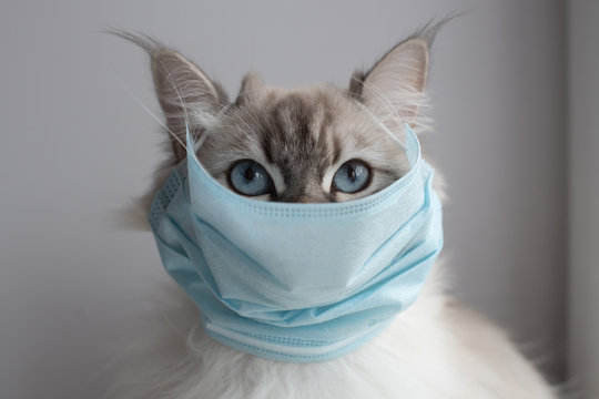 Medical mask on cat for protection of Coronavirus Covid19 virus selective focus on eyes
