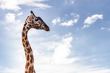 Giraffe moving in the savannah in Serengeti National Park