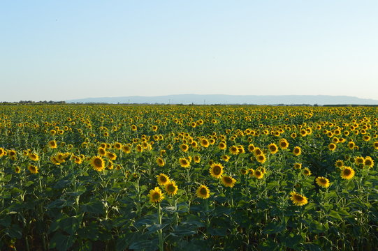 Rows and rows of sunflowers with mountains at the back — Yolo County, California.