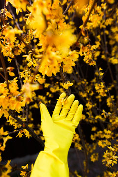 yellow rubber glow holding one flower from vibrant yellow forsythia bush