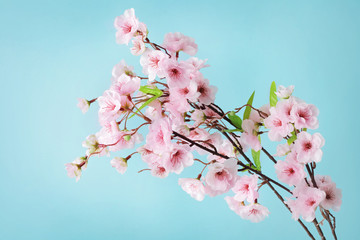cherry blossom flowers on blue background