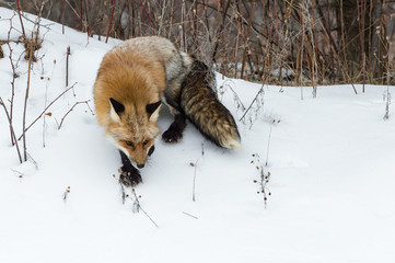 Wall Mural - Red Fox (Vulpes vulpes) Turns to Walk Down Bank Winter