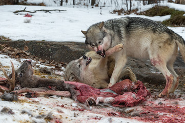 Wall Mural - Grey Wolves (Canis lupus) Fight Over Mostly Consumed White-Tail Deer Carcass Winter