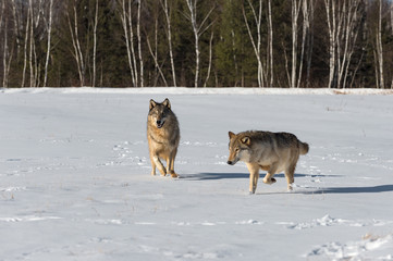 Wall Mural - Grey Wolves (Canis lupus) Cavort in Snowy Field Winter