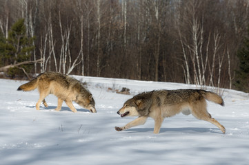 Wall Mural - Grey Wolf (Canis lupus) Runs Left Second Sniffing in Background Winter