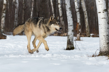 Wall Mural - Grey Wolf (Canis lupus) Runs Right Through Snowy Birch Forest Winter