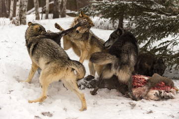 Wall Mural - Grey Wolf (Canis lupus) Pack Scuffles Around White-Tail Deer Carcass Winter