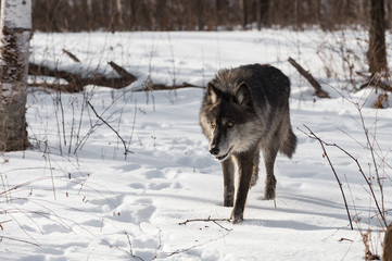 Fotomurales - Black Phase Grey Wolf (Canis lupus) Steps Forward in Snowy Woods Winter