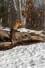 Wall Mural - Amber Phase Red Fox (Vulpes vulpes) Sits on Log Head Lowered Winter
