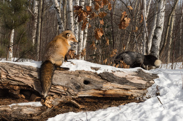 Wall Mural - Amber Phase Red Fox (Vulpes vulpes) Sits on Log Silver Fox in Background Winter