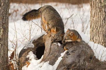 Wall Mural - Grey Foxes (Urocyon cinereoargenteus) In Log Winter