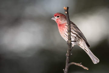 Wall Mural - House Finch Perched Delicately on a Slender Branch