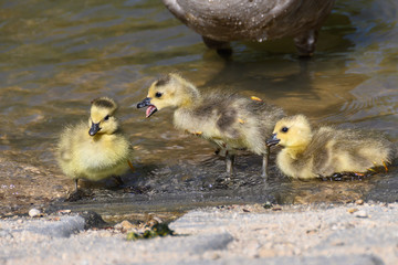 Fototapete - Newborn Goslings Learning to Complain, Argue, Scrabble and Squawk