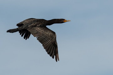 Wall Mural - Double-Crested Cormorant Flying in a Blue Sky