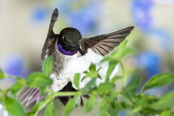 Wall Mural - Black-Chinned Hummingbird Searching for Nectar Among the White Flowers