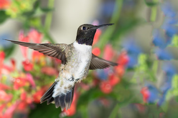 Wall Mural - Black-Chinned Hummingbird Searching for Nectar Among the Red Flowers