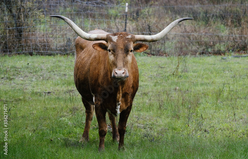 Wall mural Texas longhorn cow in rain during spring on farm.