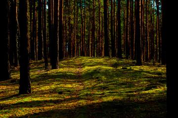 Keuken foto achterwand Bos in mist Animal path in a pine forest