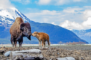 Wood Bison & Calf at the Alaska Wildlife Conservation Center - Portage, Alaska
