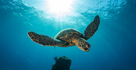 Green sea turtle hovers on the west side of maui and comes up or a breath over a sunken pier Wall mural