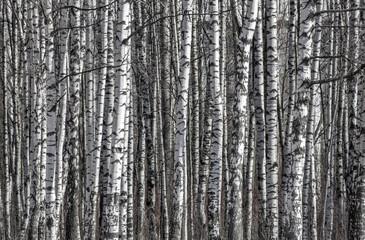 Garden Poster Birch Grove birch trunks black and white background