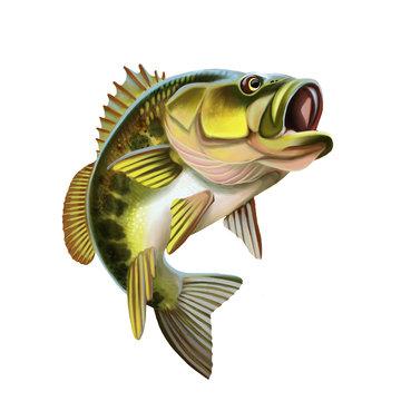 Largemouth Bass Fish Illustration. Isolated on white background.