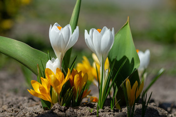 Wall Mural - White and yellow crocuses bloomed
