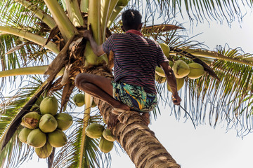 Man Climbing Cocos branch harvester harvests coconut palm tree trunk. Ceylon Coconut plantation Industry. Coconut trees in Sri Lanka