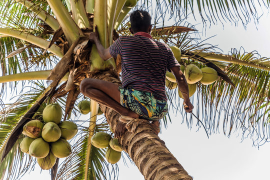 Man Climbing Cocos branch harvester harvests coconut palm tree trunk. Ceylon Coconut plantation Industry. Coconut trees in Sri Lanka