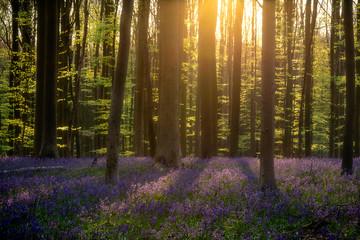 Foto auf AluDibond Blumenhändler Sfeervolle ochtend in het Hallerbos tijdens de jaarlijks bloei van de boshyacinten. Atmospheric morning in the Hallerbos during the annual flowering of the bluebells