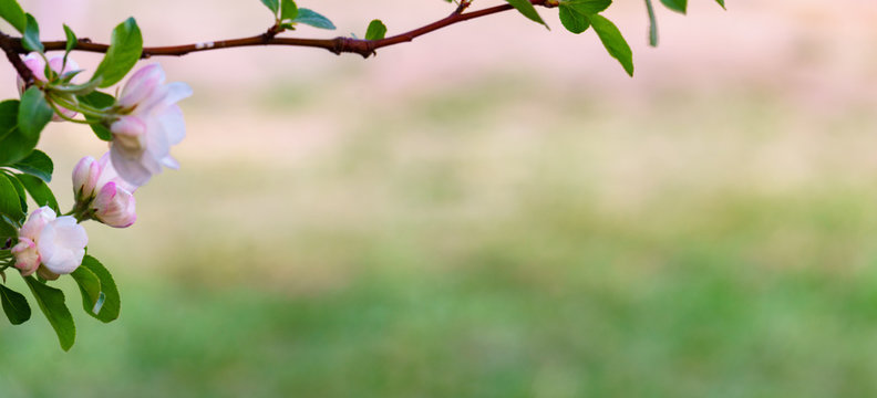 panoramic view of apple flower on green bokeh background.. pink flowers in spring