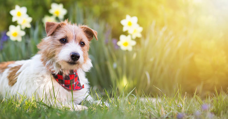 Happy small cute jack russell terrier pet dog puppy smiling in the grass with flowers. Summer, spring, easter concept, web banner.