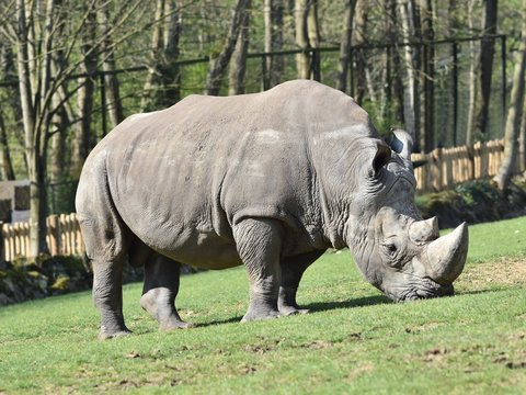 Close up of white rhinoceros nibbling on grass in a zoo. Horizontal view with blurred background